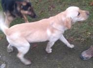 Znalezione dwa psy